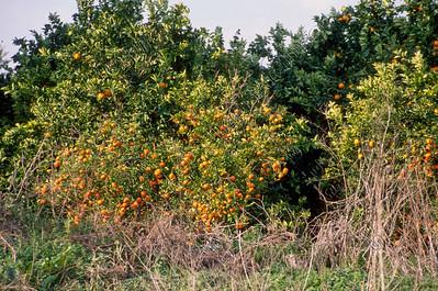 oranges,Tartus,sinaasappelen,Syria,Syrië,Syrie