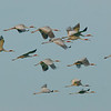 Sarus cranes in Kampong Trach District, Cambodia. Copyright J. C. Eames