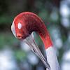(Grus antigone), Sarus crane, Animal, Cardamon Mountains, Cambodia, Asia. © CI/ photo by Haroldo Castro