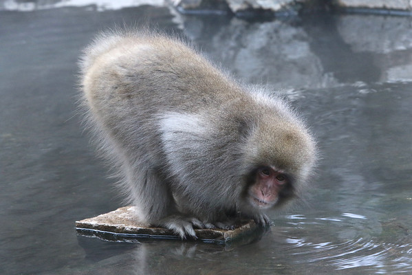 Japanese Macaque by Olivier