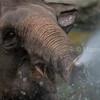 asian elephant spraying water