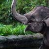 Asian Elephant playing with its trunk