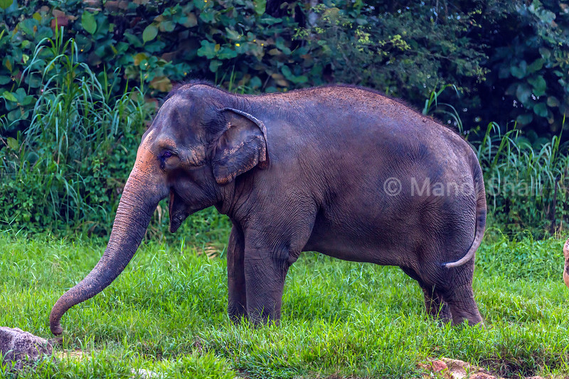 Asian elephant browsing in Sri Lanka