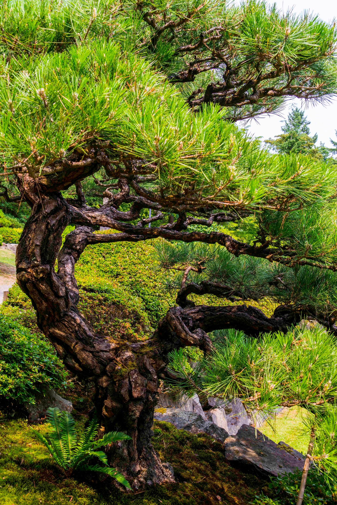 Twisted Evergreen