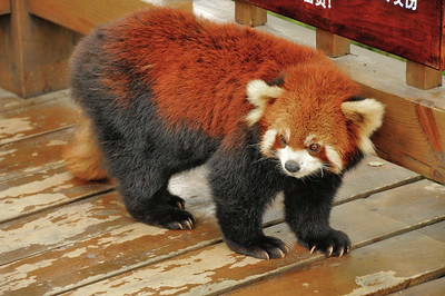 Chengdu - Base de recherche sur le panda géant - Panda roux - 成都 - 小熊猫