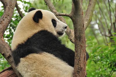Chengdu - Base de recherche sur le panda géant - 成都 - 大熊猫