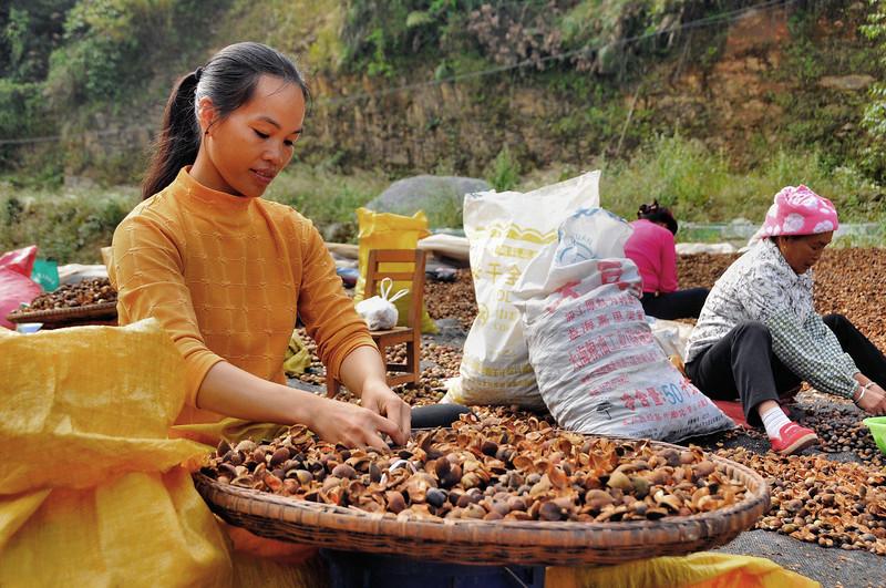 Traitement des graines de thé - Ethnie Beilong Yao - 背陇瑶族