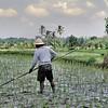 Le travail des rizières