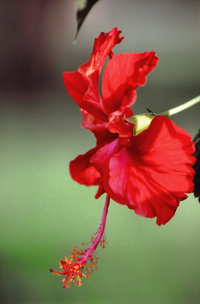 Lahore - Jardins de Shalimar - Hibiscus - لاہور