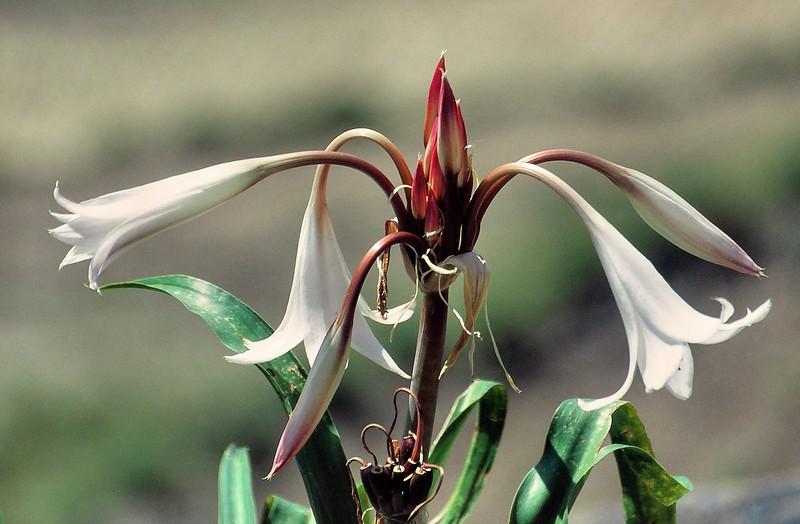 Flore du Djebel Harraz - جبل حراز
