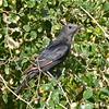Tristramstar-Onychognathus tristramii-Tristram´s Starling