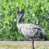 Kranich juv.-Grus grus-Common Crane