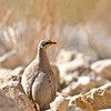 Arabisches Wüstenhuhn fem.-Ammoperdix heyi-Sand Patridge