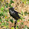 Tristramstar-Onychognathus tritramii-Tristram´s Starling