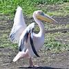 Rosapelikan-Pelecanus onocratulus-Great White Pelican