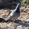 Felsentaube-Columba livia-Common Pigeon