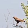 Falkenbussard-Buteo buteo vulpinus-Steppe Buzzard
