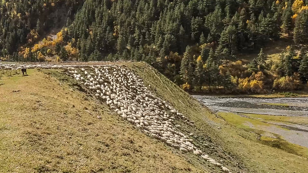 Flock of sheep climing hill at Chesho village