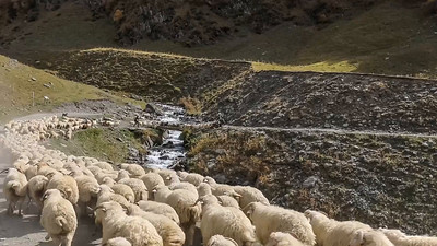 Supporting sheep crossing a narrow bridge