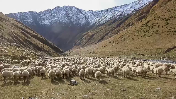 flock of sheep on the banks of Alazani River (Pirikita Alazani)