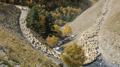 sinuous line of sheep