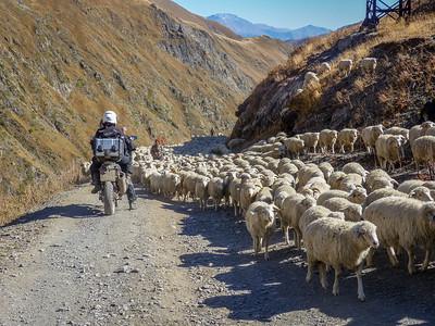 bike through sheep