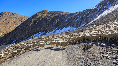 sheep prefer abreviations