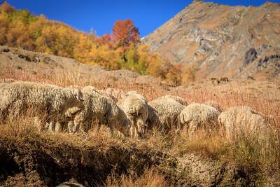 sheep on autumn alps