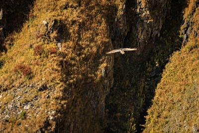 Griffon vulture)