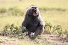 Baboon_Kenya_Asilia_20150040