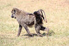 Baboon_Kenya_Asilia_20150053