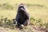 Baboon_Kenya_Asilia_20150042