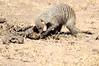 Banded_Mongoose_Kenya_2015_Asilia_0042