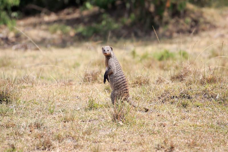 Banded_Mongoose_Kenya_2015_Asilia_0003