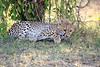 Cheetah_Cubs_Mara_Kenya_Asilia_20150032