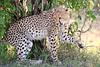 Cheetah_Cubs_Mara_Kenya_Asilia_20150031