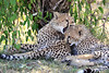 Cheetah_Cubs_Mara_Kenya_Asilia_20150069