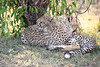 Cheetah_Cubs_Mara_Kenya_Asilia_20150063