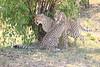 Cheetah_Cubs_Mara_Kenya_Asilia_20150060