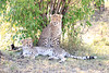 Cheetah_Cubs_Mara_Kenya_Asilia_20150046