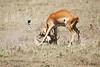 Cheetah_Feast_Mara_Kenya_Asilia_20150179