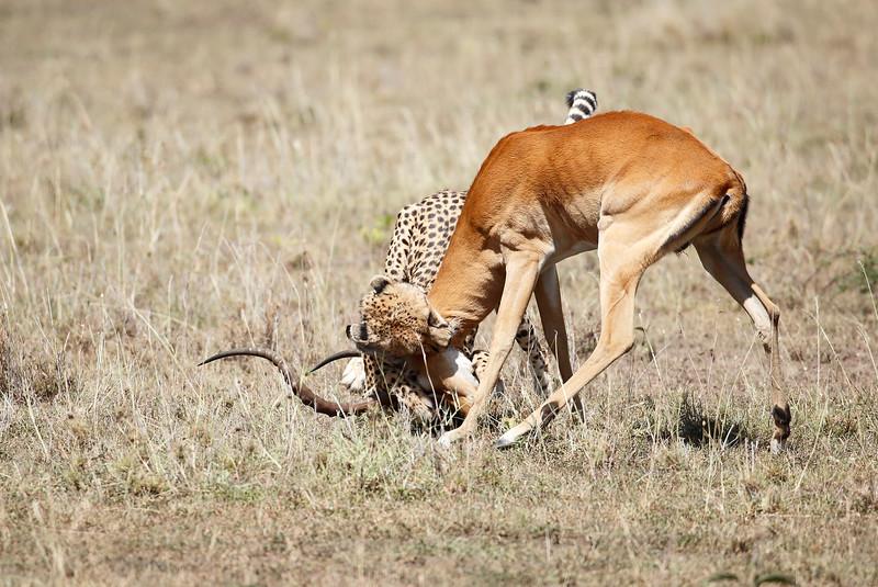 Cheetah_Feast_Mara_Kenya_Asilia_20150148