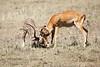 Cheetah_Feast_Mara_Kenya_Asilia_20150162