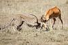 Cheetah_Feast_Mara_Kenya_Asilia_20150174