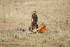 Cheetah_Feast_Mara_Kenya_Asilia_20150187