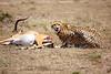 Cheetah_Feast_Mara_Kenya_Asilia_20150201