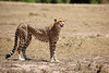 Cheetah_Feast_Mara_Kenya_Asilia_20150207