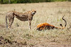 Cheetah_Feast_Mara_Kenya_Asilia_20150191