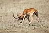 Cheetah_Feast_Mara_Kenya_Asilia_20150173