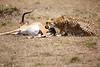 Cheetah_Feast_Mara_Kenya_Asilia_20150205